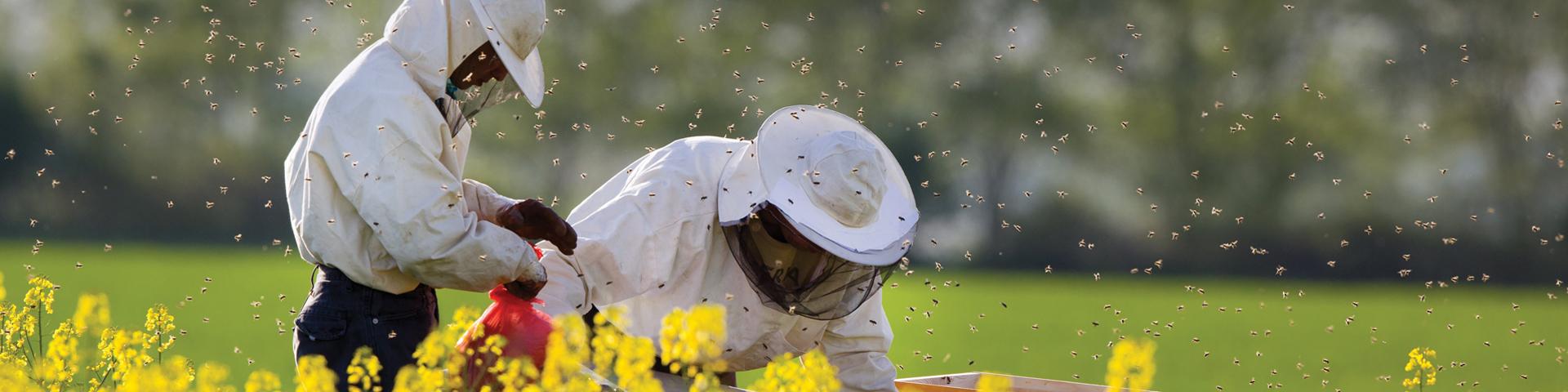 api cultures
